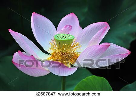Picture of lotus flower in full bloom k2687847 search stock lotus flower in full bloom symbolizing religion buddhism purity serenity zen the summer season buddha enlightenment bliss joy and other abstract mightylinksfo