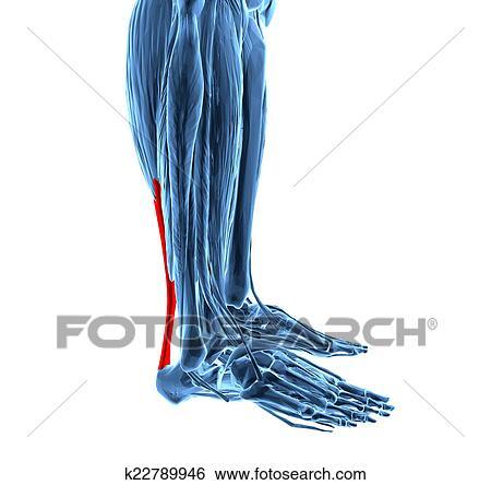 Colección de ilustraciones - tendón de achilles, con, pierna más ...