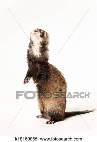 Stock Image of Ferret standing on rear legs k18169865 - Search Stock ...