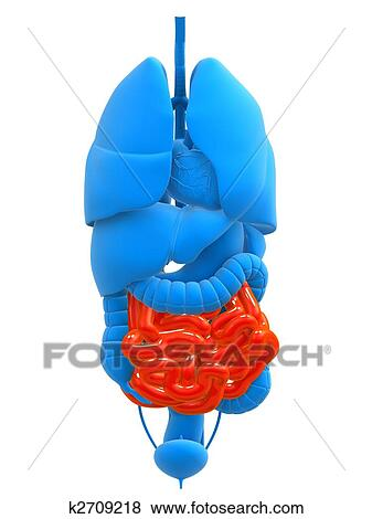 Stock Illustration of human small intestines k2709218 - Search EPS ...