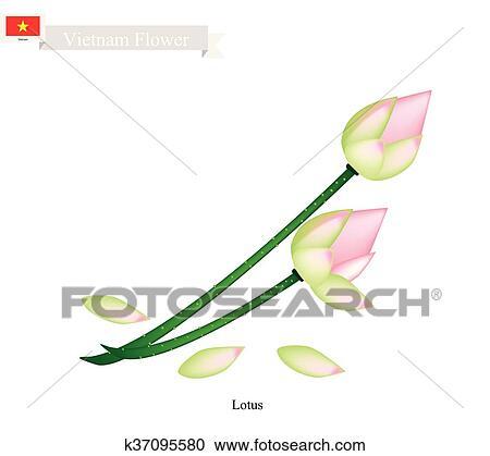 Clipart - loto, o, nenúfar, flor, el, flor nacional, de, vietnam ...