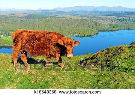 Pictures of luing cow above lake windermere k18548358 search stock luing cow on gummers how above lake windermere in the lake district national park publicscrutiny Images