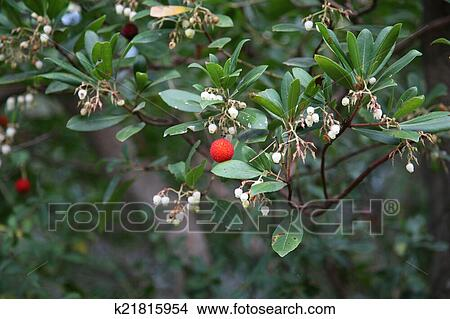 Red Berries And Small White Flowers Picture K21815954 Fotosearch
