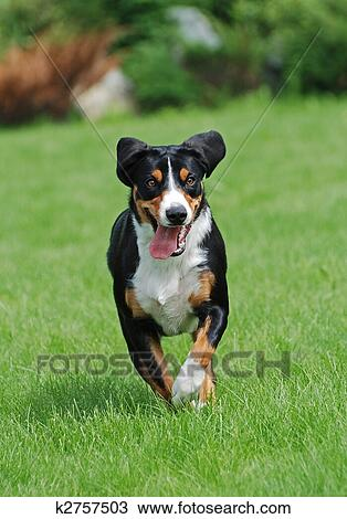 The Appenzeller Sennenhund Is A Medium Size Breed Of Dog