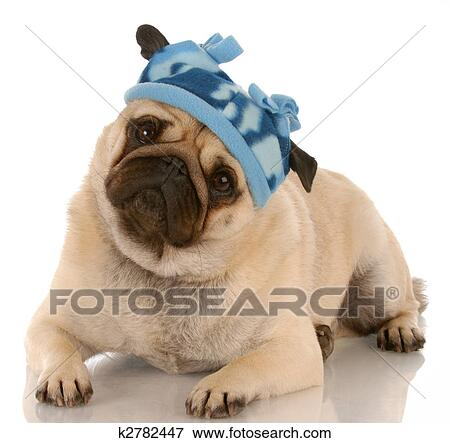 Fawn pug wearing winter hat with reflection on white background ... 432a9c3060e