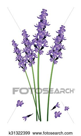 紫色 ラベンダー 花 上に A 白い背景 クリップアート K31322399