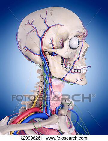 Anatomie Gorge clipart - les, gorge, anatomie k29998261 - recherchez des clip arts