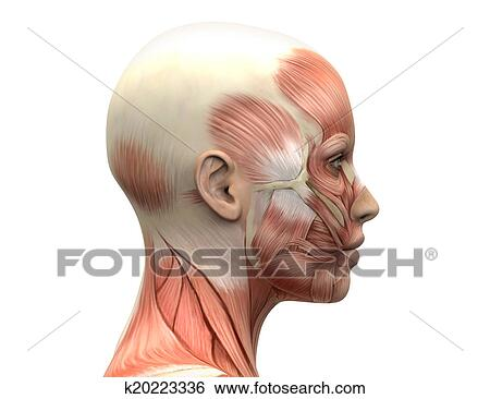 Stock Illustration of Female Head Muscles Anatomy - Side k20223336 ...