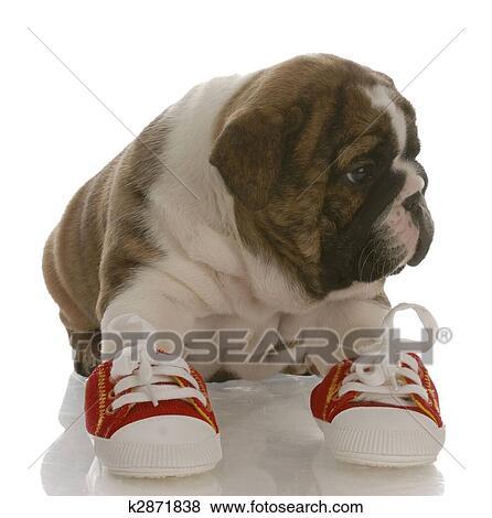 Engels Bulldog Puppy Vervelend Lopende Schoenen Met