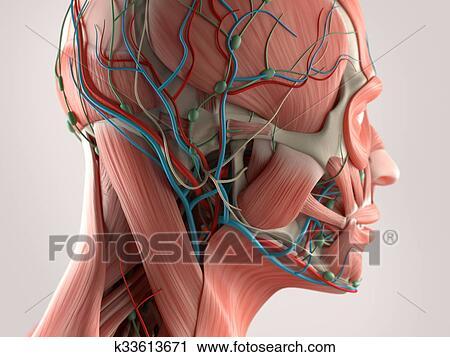 Clipart - anatomía humana, cara k33613671 - Buscar Clip Art ...