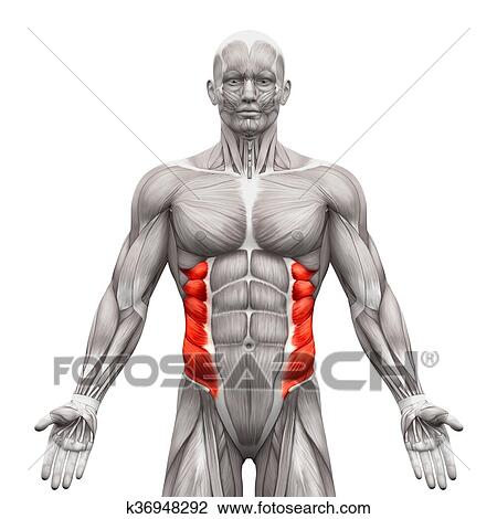 External Oblique Muscles - Anatomy Muscles isolated on white - 3D  illustration Drawing