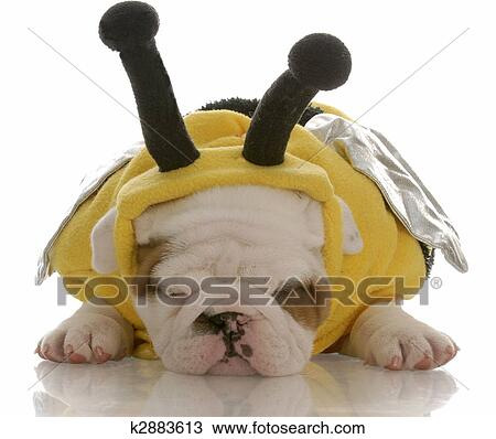 Sei settimana vecchia, bulldog inglese, cucciolo, vestito eleganza, come,  uno, ape Archivio Immagini