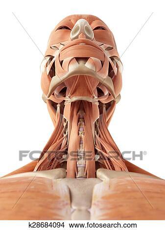 Dibujos - el, músculos cuello k28684094 - Buscar Clip Art ...