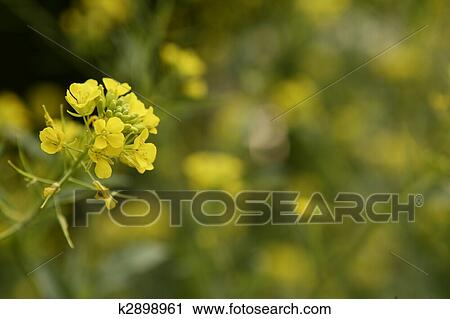 Stock photography of mustard flower sinapis aiba yellow flowers and mustard flower sinapis aiba yellow flowers and plant nature mightylinksfo