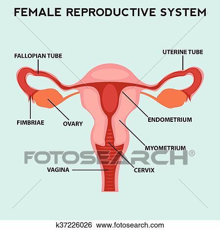 Clip Art - sistema reproductor femenino, imagen, diagrama k37226026 ...