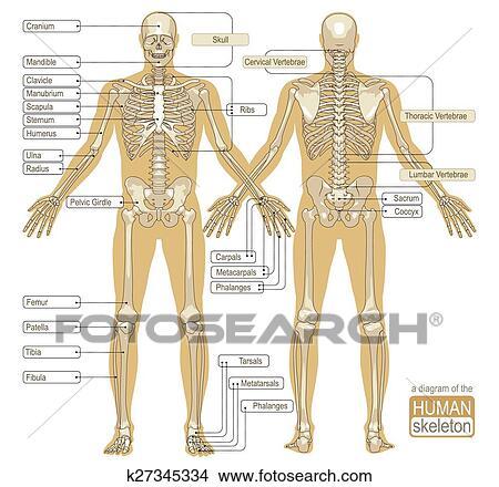 Clipart - un, diagrama, de, el, esqueleto humano k27345334 - Buscar ...