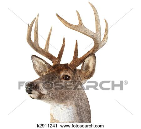 A Closeup Of Whitetail Deer Looking Towards The Left