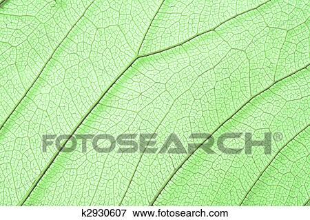 Bild - grün, skelett, blatt, struktur k2930607 - Suche ...
