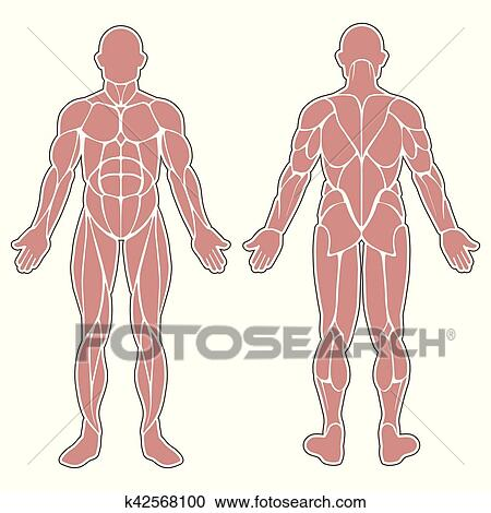 Clipart - menschlicher körper, muskeln k42568100 - Suche Clip Art ...