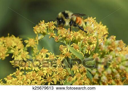 Colección de foto - rojo-atado, abejorro k25679613 - Buscar fotos e ...