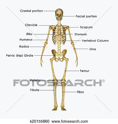 Stock Illustrationen - skelett k20155860 - Suche Clipart ...