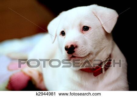Stock Photography Of Yellow Labrador White Siberian Husky Puppy