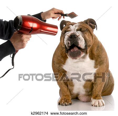 Hond Krijgen Verzorgde Engels Bulldog Lachen Terwijl