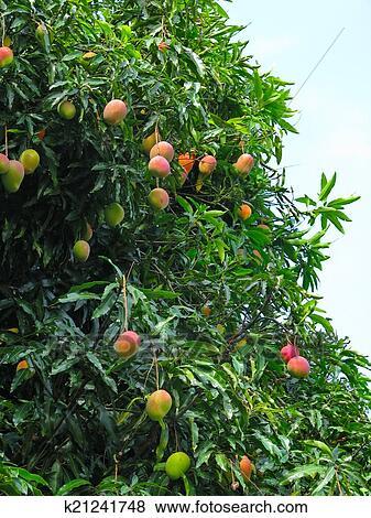 images mangues sur a mangue arbre dans chapada diamantina parc national br k21241748. Black Bedroom Furniture Sets. Home Design Ideas