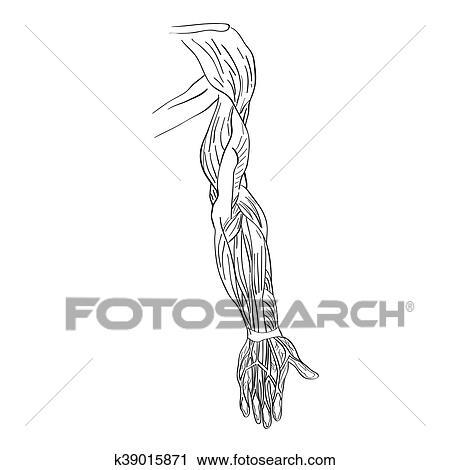 Clipart - muscles bras. Fotosearch - Recherchez des Clip Arts d69fa6656c1