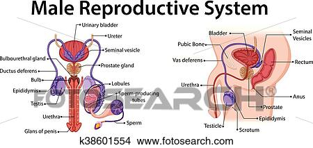 Diagram showing male reproductive system Clipart on nervous system diagram, circulatory system diagram, the endocrine system diagram, bull reproductive tract diagram, male digestive tract diagram, musculoskeletal system diagram, immune system diagram, cardiovascular system diagram, spermatogenesis diagram, pituitary system diagram, male reproductive function, skeletal system diagram, male skeletal system human skeleton, digestive system diagram, heart diagram, respiratory system diagram,