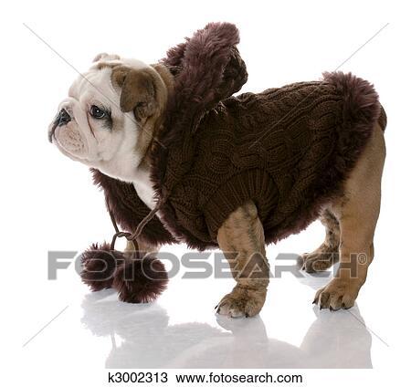 Hond Vervelend Bruine Trui Engels Bulldog Female