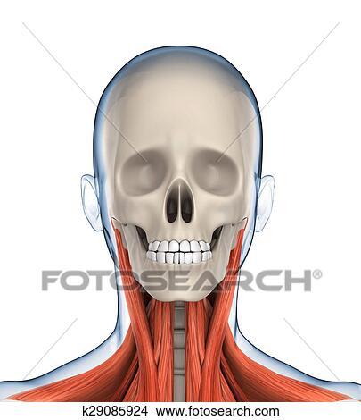 drawings of human head anatomy k29085924 search clip art