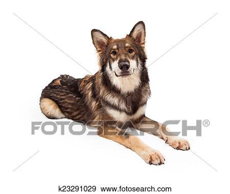 Lupo e pastore tedesco croce cane posa archivio fotografico