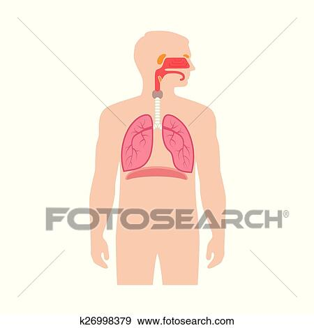 Clip Art Of Human Respiratory System Anatomy K26998379 Search