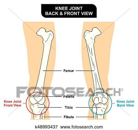 Clip Art - coyuntura rodilla, anatomía, anterior, y, vista posterior ...
