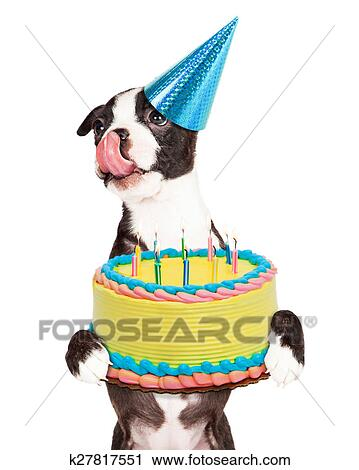 Cute Little Boston Terrier Puppy With Tongue Out Licking Lips And Carrying A Birthday Cake Lit Candles