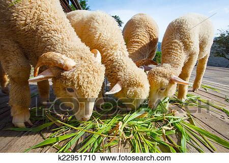 Fußboden Graß Essen ~ Stock fotografie merino schaf essende ruzi gras blätter auf