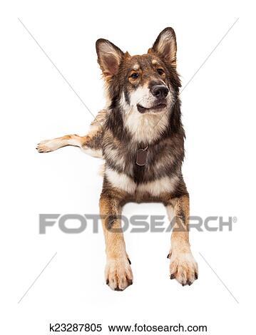 Curioso lupo e pastore tedesco croce cane archivio immagini