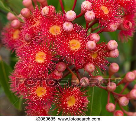 Banque d 39 image fleurs rouges gencive arbre eucalyptus phytocarpa hybride australien - Arbres a fleurs rouges ...