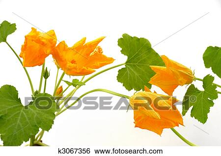Stock images of squash flower and leaves isolated on white k3067356 squash flower and leaves isolated on white mightylinksfo