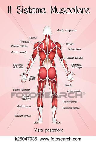 Colección de ilustraciones - el, sistema muscular k25047035 - Buscar ...