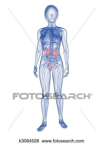 Stock Illustration of female urinary system k3084528 - Search EPS ...