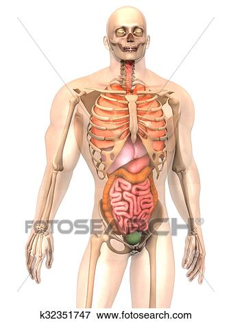 Picture Of Human Anatomy Visualization Internal Organs K32351747