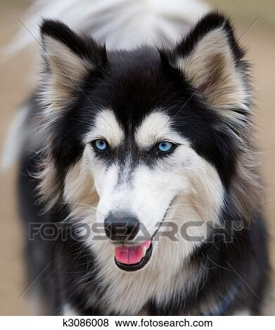 Pictures Of Siberian Husky Face Close Up K3086008 Search Stock