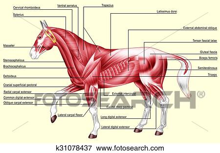 Stock Illustration of Horse anatomy muscles k31078437 - Search EPS ...