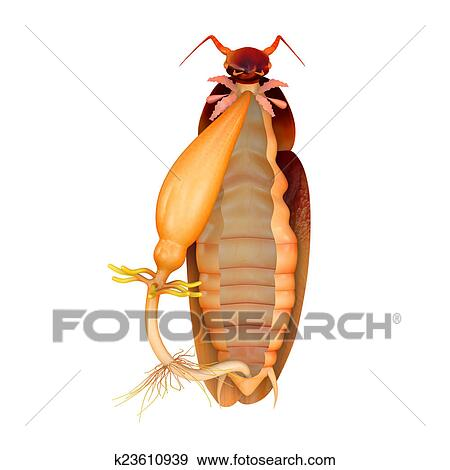 cockroach digestive system stock illustration  k23610939
