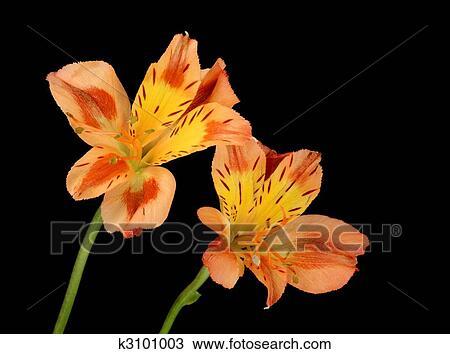Peruvian Lily Alstroemeria Aurea Stock Image K3101003 Fotosearch