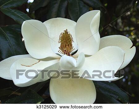 Archivio fotografico bello primo piano di magnolia for Magnolia pianta prezzi