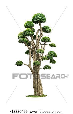 Stock Bilder Gross Bonsai Baum Freigestellt Weiss K18880466