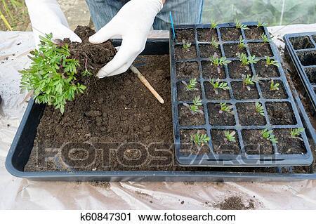 Marigold Seedlings Stock Image K60847301 Fotosearch
